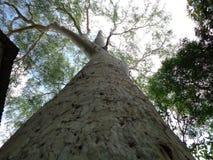 Stort eukalyptusträd, Uttaradit, Thailand royaltyfria bilder