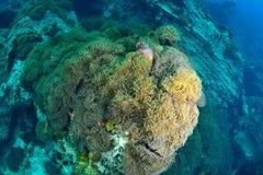 Stort fält av anemoner Arkivbilder