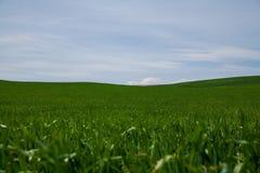 Stort fält av grönt gräs som växer under en blå himmel Royaltyfri Fotografi
