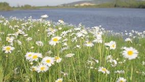 Stort fält av gula blommor Skott på Canon 5D fläck II med främsta L linser lager videofilmer