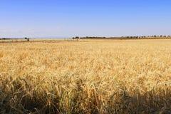 Stort fält av korn i Spanien royaltyfria foton