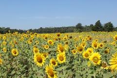 Stort fält av solrosor. Royaltyfri Fotografi