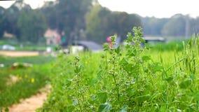 Stort fält av växter för industriell hampa lager videofilmer