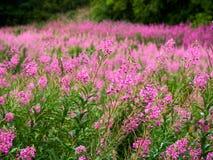 Stort fält av vibrerande och blommande oleanderwillowherb arkivfoto