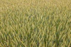 Stort fält mycket av vete, närbild Arkivbild