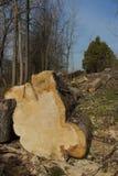 Stort för snitt träd ner Arkivfoto