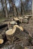 Stort för snitt träd ner Royaltyfri Bild