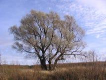 Stort fördelande träd bland slättarna i vår royaltyfri foto