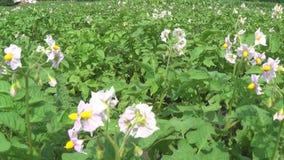Stort fält av potatisväxter i blom arkivfilmer