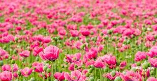 Stort fält mycket av rosa Papaverblommor Royaltyfria Foton