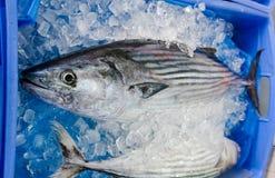 Stort format av bonitofisken som fryser på is på en fiskmarknad royaltyfri bild