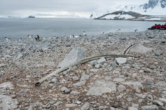 Stort forntida ben på stranden Royaltyfri Bild