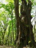 Stort forntida träd i vårskog Arkivfoton
