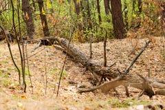 Stort fult hinder som ligger på jordningen i en skog Arkivbilder
