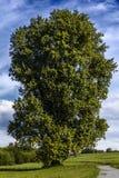 Stort gammalt poppelträd Royaltyfri Fotografi