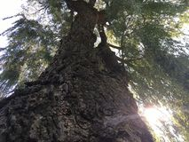 Stort gammalt stamträd, gamla pilgräsplansidor Arkivfoton