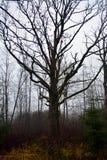 Stort gammalt träd i skog i bygd Fotografering för Bildbyråer
