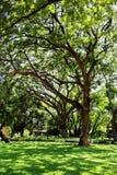 Stort gammalt träd på slotten för konung Rama 6, Huahin Arkivfoto
