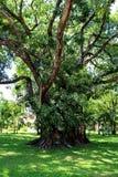 Stort gammalt träd på slotten för konung Rama 6, Huahin Royaltyfri Foto