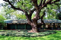 Stort gammalt träd på slotten för konung Rama 6, Huahin Royaltyfri Bild