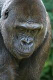 stort gorillahuvud Arkivfoto