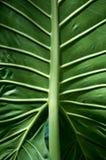 Stort grönt blad med åder Arkivfoton