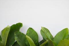 Stort grönt blad på vit bakgrund Fotografering för Bildbyråer