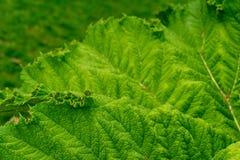 Stort grönt bladslut upp av det kolossala bladet, växt för gunneratinctoriamrabarber arkivfoton