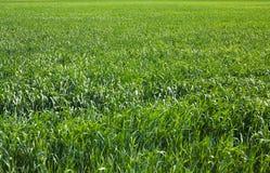 Stort grönt fält royaltyfria foton