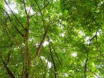 Stort grönt träd för bakgrund Royaltyfria Bilder