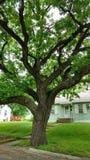 Stort grönt träd med enorma spolningsfilialer Royaltyfri Bild