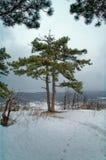 Stort grönt träd med snö Royaltyfri Bild