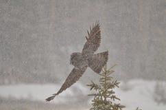 Stort Grey Owl flyg i en storm för kanadensareRocky Mountain vinter Royaltyfria Bilder