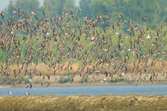 stort gruppflyg av Lesser Sand Plover Arkivfoton