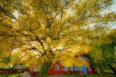 Stort guld- höstträd nära trähus arkivbild
