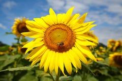 Stort gult solroshuvud (helianthusen) Arkivfoton