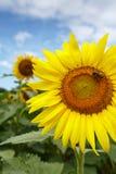 Stort gult solroshuvud (helianthusen) Arkivfoto