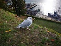 Stort hålla ögonen på för fågel arkivfoto