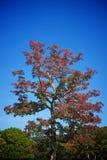 Stort höstträd med röda sidor Royaltyfri Fotografi
