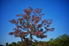 Stort höstträd med röda sidor Royaltyfria Bilder