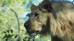 Stort huvud av ett lejon royaltyfri fotografi