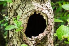Stort ihåligt träd arkivfoto