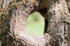 Stort ihåligt träd på en bakgrund av grön lövverk Servar bygga bo för fåglar och beskyddar för djur grunt djupfält royaltyfria bilder