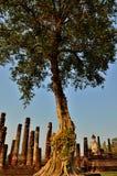 Stort jätte- träd Arkivbilder