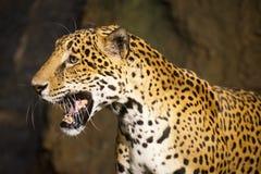 Stort kattdjurlivdjur som är södra - amerikansk jaguar Arkivfoton