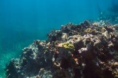 Stort korallbildande Arkivbild