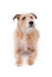 stort läggande blandat scruffy för avelhund ner Arkivfoto