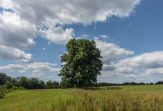 Stort lönnträd i en Sunny Hudson Valley Field arkivbilder