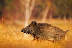 Stort löst svin i gräsängen, djur spring, Slovakien Höst i skogvildsvinet, Susscrofa som kör i gräsängen, arkivbild