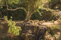 Stort lövrikt träd som täckas med murgrönan arkivbild